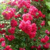Классификация роз. Применение роз в саду